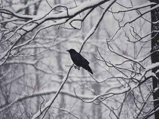 stephen-st-john-a-black-crow-contrasts-with-falling-white-snow-blanketing-the-surrounding-woods