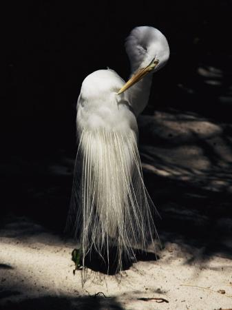 stephen-st-john-a-majestic-great-egret-cranes-its-neck-to-pluck-at-its-feathers