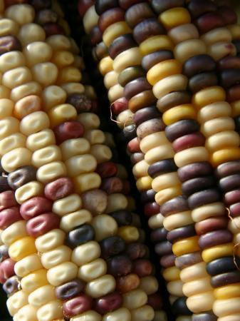 stephen-st-john-close-view-of-rows-of-multi-colored-kernels-in-autumns-indian-corn