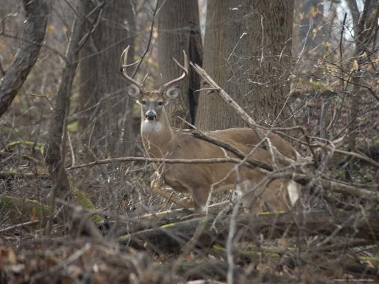 stephen-st-john-wild-buck-anxiously-paws-the-ground-in-warning