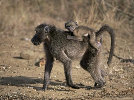 steve-ann-toon-chacma-baboon-carrying-young-hluhluwe-and-umfolozi-game-reserves-south-africa
