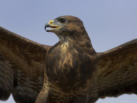 steve-ann-toon-close-up-of-a-buzzard-buteo-buteo-captive-cumbria-england-united-kingdom