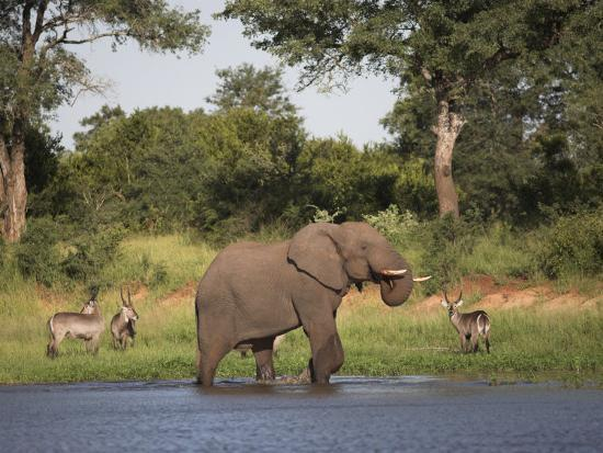 steve-ann-toon-elephant-loxodonta-africana-with-waterbuck-at-water-in-kruger-national-park