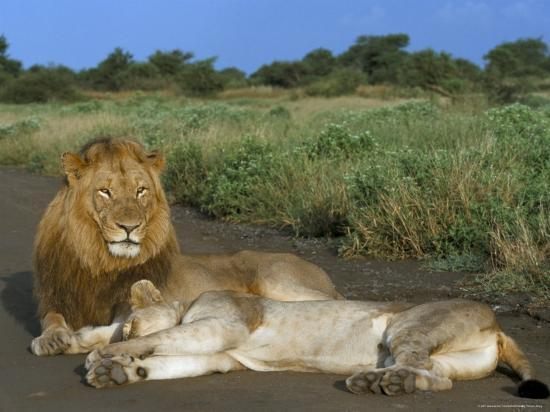 steve-ann-toon-lion-and-lioness-panthera-leo-kruger-national-park-south-africa-africa