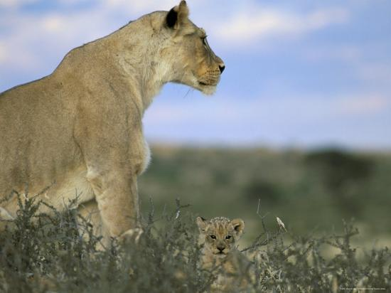 steve-ann-toon-lioness-panthera-leo-with-small-cub-kalahari-gemsbok-park-south-africa-africa