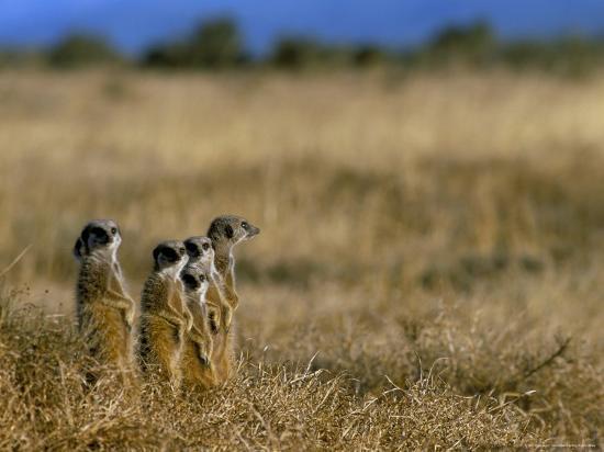 steve-ann-toon-meerkats-suricates-suricata-suricatta-addo-national-park-south-africa-africa