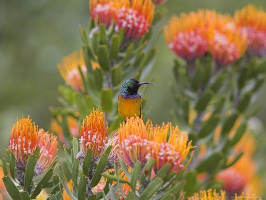 steve-ann-toon-orange-breasted-sunbird-anthobaphes-violacea-kirstenbosch-botanical-garden-cape-town