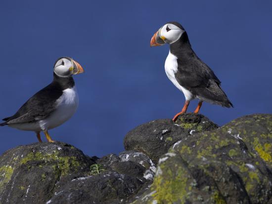 steve-ann-toon-puffin-on-rock-fratercula-arctica-isle-of-may-scotland-united-kingdom