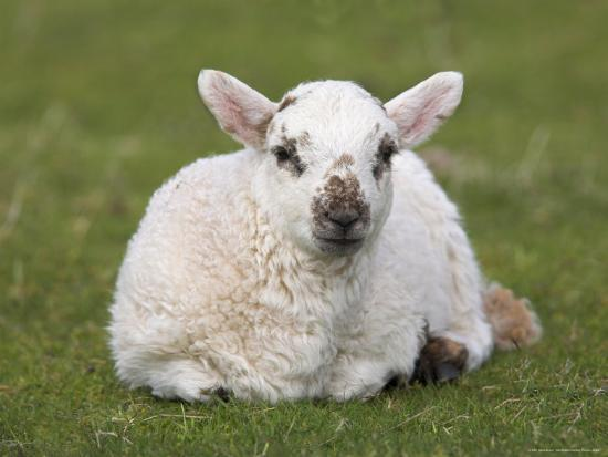 steve-ann-toon-spring-lamb-scotland-united-kingdom