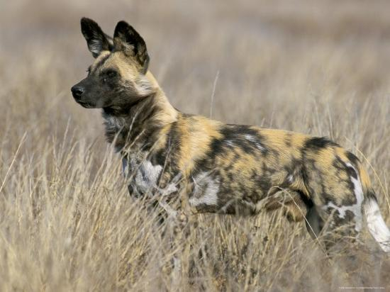 steve-ann-toon-wild-dog-painted-hunting-dog-lycaon-pictus-south-africa-africa