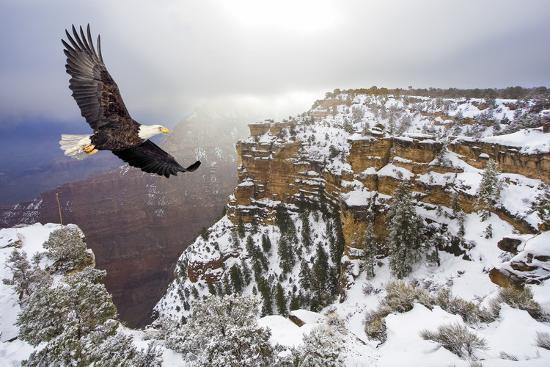 steve-collender-bald-eagle-flying-above-grand-canyon