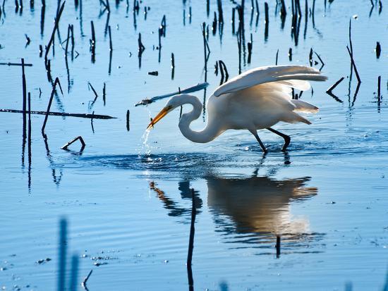 steve-gadomski-wild-egret-fishing-horicon-marsh-wisconsin