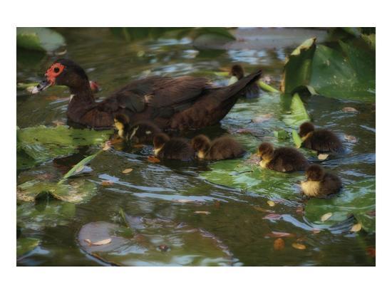 steve-hunziker-ducky-swim