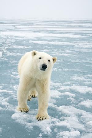 steve-kazlowski-polar-bear-in-search-of-seals-spitsbergen-svalbard-norway