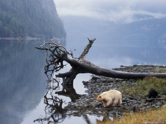 steve-kazlowski-sow-with-cub-rainforest-of-british-columbia