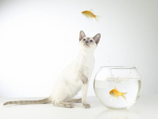 steve-lupton-siamese-kitten-with-jumping-goldfish