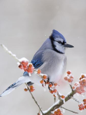 steve-maslowski-blue-jay-cyanocitta-cristata-in-icy-berries