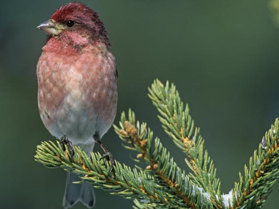 steve-maslowski-male-purple-finch-carpodacus-purpureus-the-state-bird-of-new-hampshire-usa