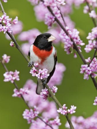steve-maslowski-male-rose-breasted-grosbeak-pheucticus-ludovicianus-in-redbud-tree