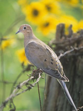 steve-maslowski-mourning-dove-sitting-on-a-barbed-wire-fence-zenaida-macroura-north-america