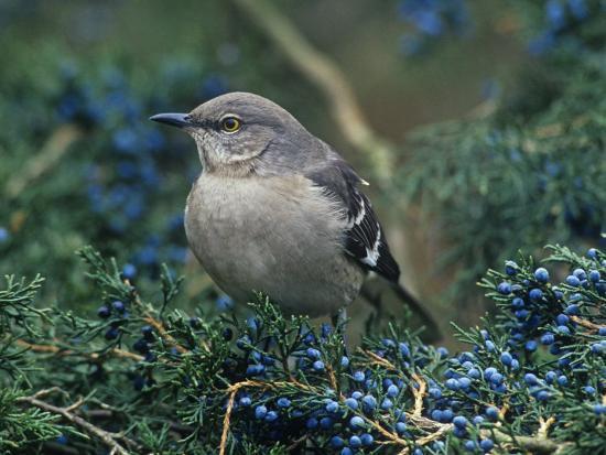 steve-maslowski-northern-mockingbird-in-red-cedar-mimus-polyglottos-north-america