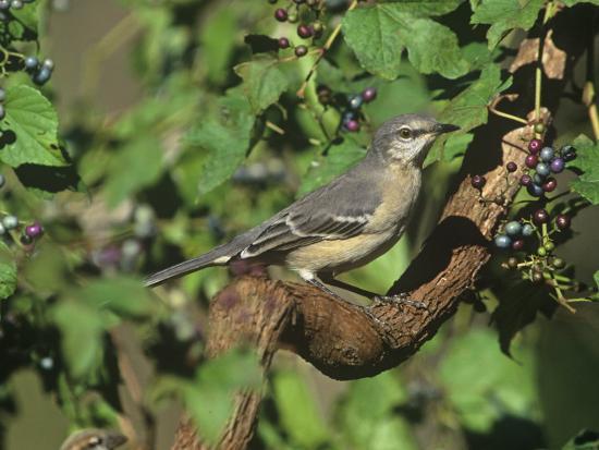 steve-maslowski-northern-mockingbird-mimus-polyglottos-north-america