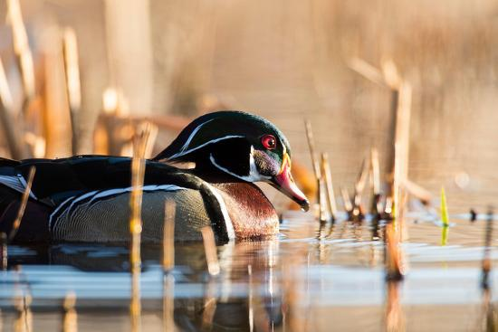 steve-oehlenschlager-a-drake-wood-duck-in-the-spring-in-minnesota