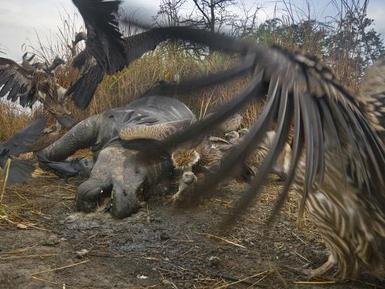 steve-raymer-vultures-scavenge-a-female-rhino-that-was-killed-by-a-pair-of-tigers
