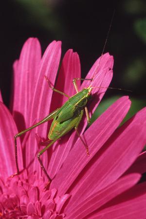 steve-terrill-usa-oregon-portland-fork-tailed-bush-katydid-on-gerbera-flower