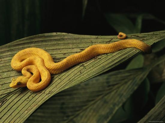 steve-winter-a-golden-morph-of-eyelash-viper-on-a-leaf