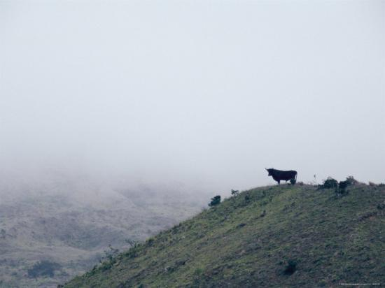 steve-winter-lone-bull-on-hill-in-fog