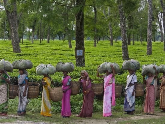 steve-winter-women-workers-tote-freshly-picked-tea-leaves-to-be-processed