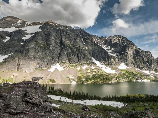 steven-gnam-a-mountain-goat-in-glacier-national-park-montana