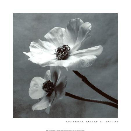 steven-n-meyers-anemones