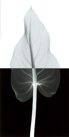 steven-n-meyers-calla-leaf-ii