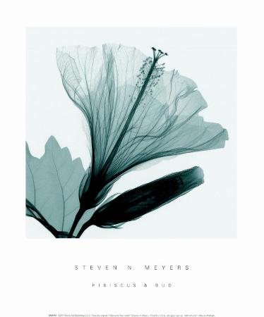 steven-n-meyers-hibiscus-and-bud