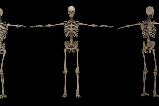 stocktrek-images-3d-rendering-of-human-skeletal-system-at-different-angles