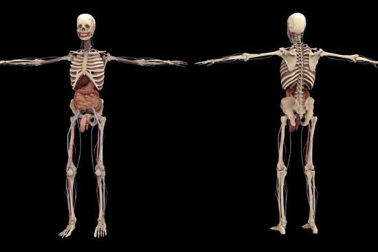 stocktrek-images-3d-rendering-of-human-skeleton-with-internal-organs