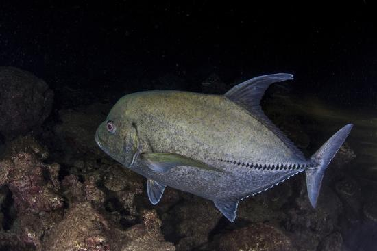 stocktrek-images-a-black-trevally-swims-over-the-seafloor-near-cocos-island-costa-rica