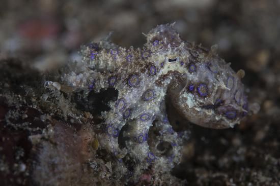 stocktrek-images-a-blue-ringed-octopus-lings-to-the-seafloor-in-lembeh-strait-indonesia