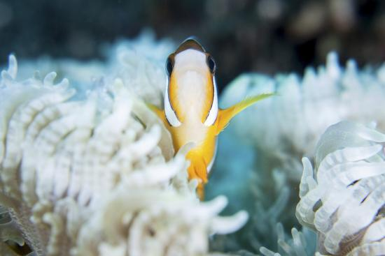 stocktrek-images-a-clark-s-anemonefish-snuggles-amongst-its-host-s-tentacles-on-a-reef