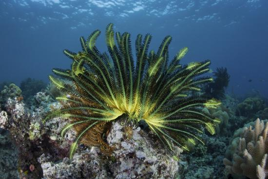 stocktrek-images-a-colorful-crinoid-clings-to-a-reef-near-the-island-of-flores-in-indonesia