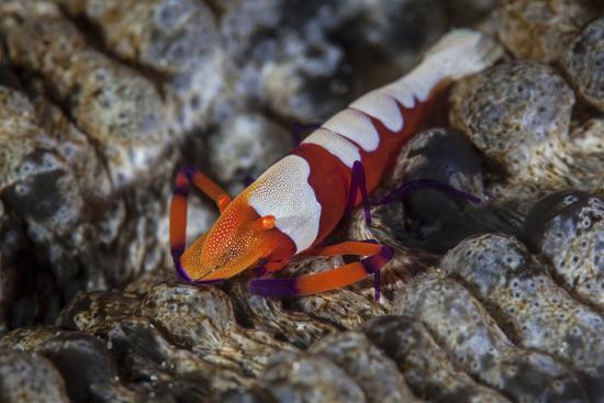stocktrek-images-a-colorful-emperor-shrimp-sits-atop-a-sea-cucumber
