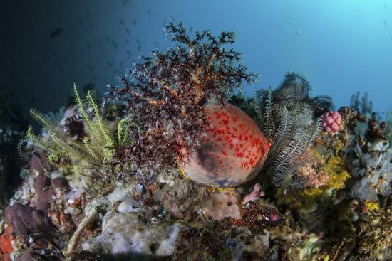 stocktrek-images-a-colorful-sea-apple-clings-to-a-reef-in-indonesia