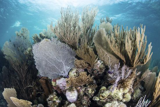 stocktrek-images-a-colorful-set-of-gorgonians-on-a-diverse-reef-in-the-caribbean-sea