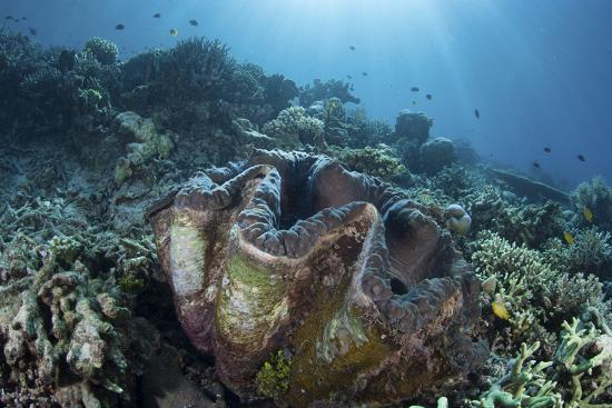 stocktrek-images-a-giant-clam-grows-on-a-reef-in-raja-ampat