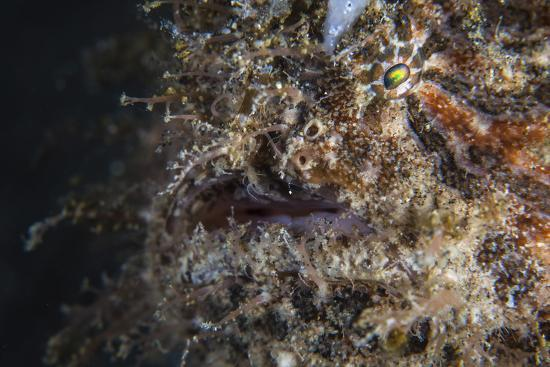 stocktrek-images-a-hairy-frogfish-waits-to-ambush-prey-on-a-reef