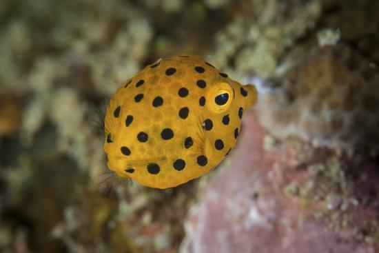 stocktrek-images-a-juvenile-yellow-boxfish-swims-above-the-seafloor