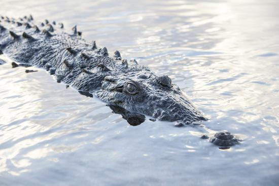 stocktrek-images-a-large-american-crocodile-surfaces-in-a-lagoon