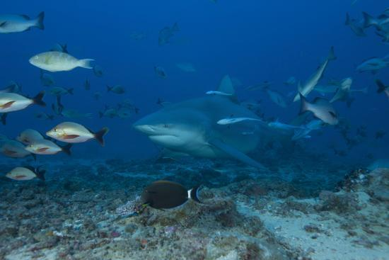 stocktrek-images-a-large-bull-shark-at-the-bistro-dive-site-in-fiji